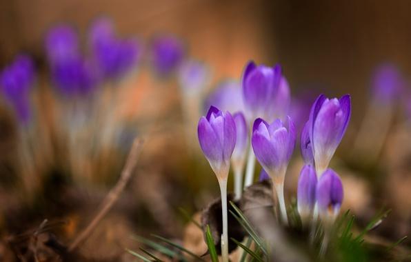 Picture macro, flowers, spring, crocuses