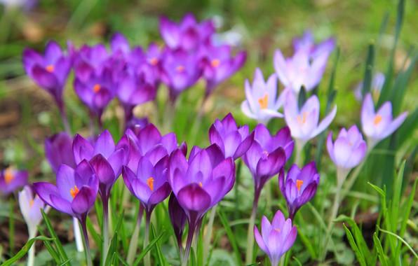 Picture Flowers, Nature, Spring, Meadow, Flowering, Crocuses