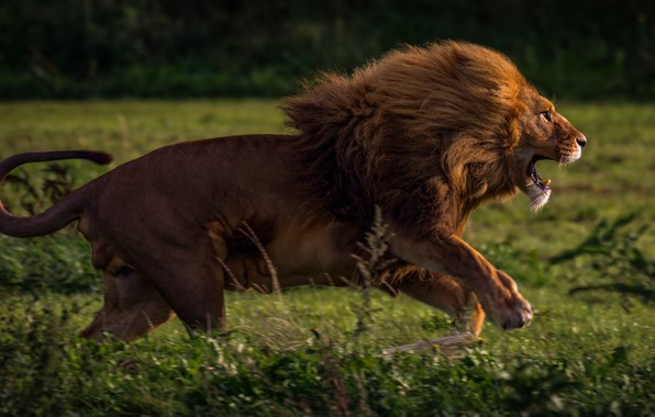 Picture field, grass, face, cats, background, movement, jump, body, predator, Leo, paws, running, mouth, mane, hunting, …