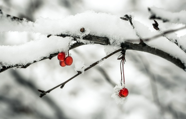 Picture snow, apples, branch