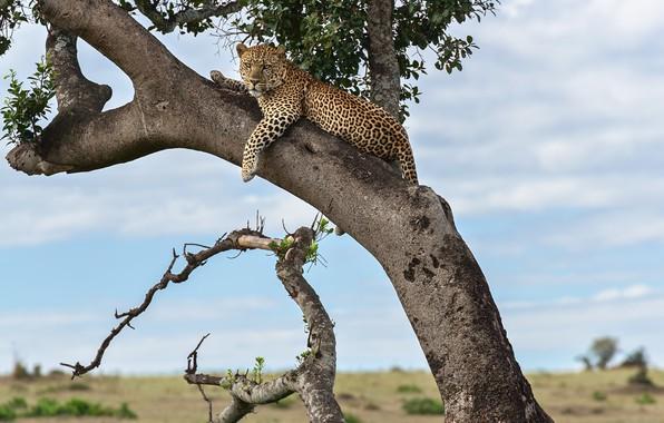 Picture tree, predator, Jaguar