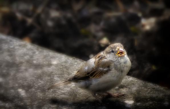 Picture nature, bird, Sparrow