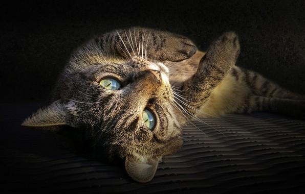Picture cat, look, lies