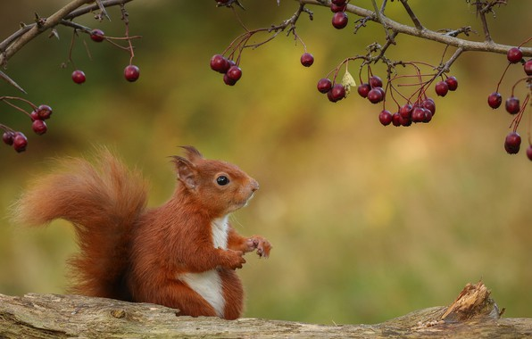 Picture nature, berries, branch, protein, ginger