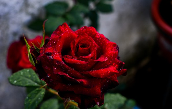 Picture flower, drops, red, Rosa, Rose