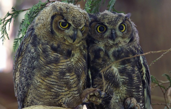 Picture birds, pair, owls