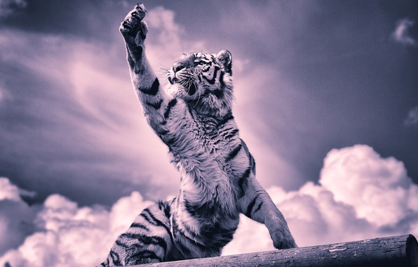 Picture clouds, tiger, paw, claws, tiger