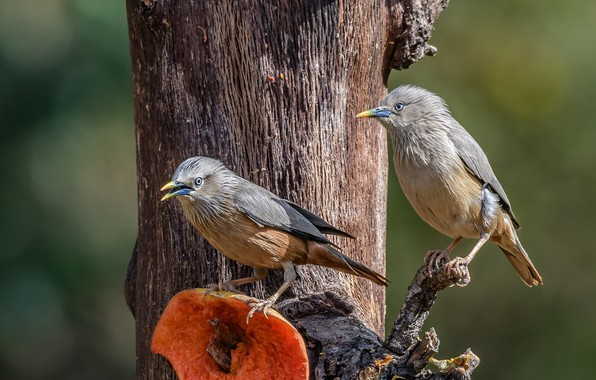 Picture birds, tree, a couple, the Siberian Starling
