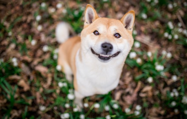 Picture language, look, face, joy, nature, smile, background, glade, portrait, dog, puppy, the expression, blurred, good, …