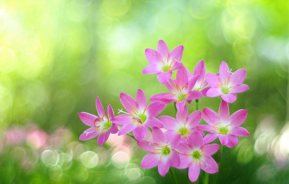 Picture glare, bokeh, pink flowers, Zephyranthes