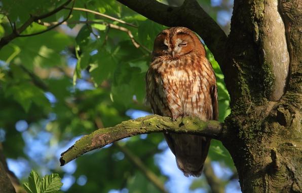 Picture tree, owl, bird, on the tree, Gray owl