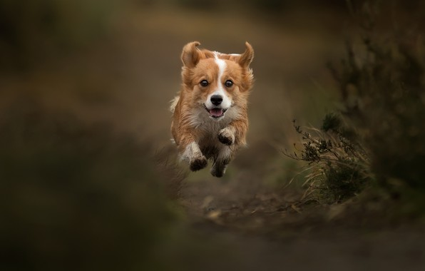 Picture jump, dog, flight, walk, bokeh, doggie, levitation, Welsh Corgi