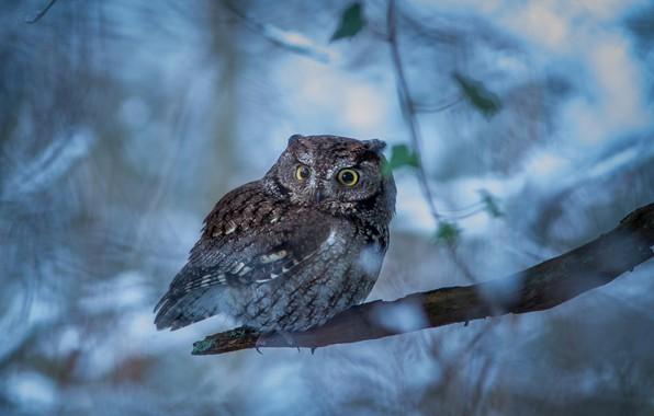 Picture owl, bird, branch, bitches, bokeh, Western scoop