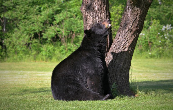 Picture nature, tree, animal, stay, bear, bear