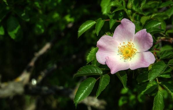 Picture Macro, Spring, Flower, Leaves, briar, Spring, Macro, Leaves, Pink flower