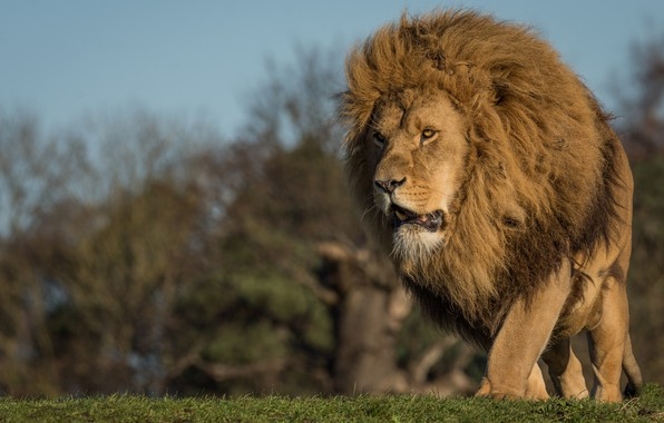 Picture cat, look, nature, animal, Leo, mane, weed