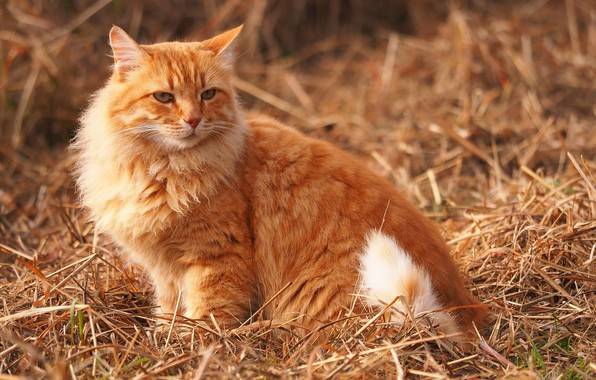 Picture hay, fluffy, red cat