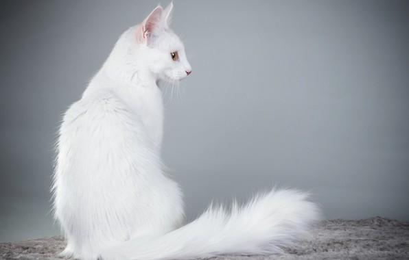 Picture cat, background, white, Angora cat