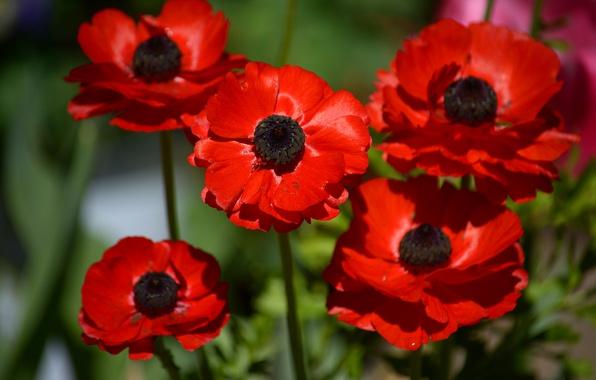 Picture macro, red, anemones, anemone