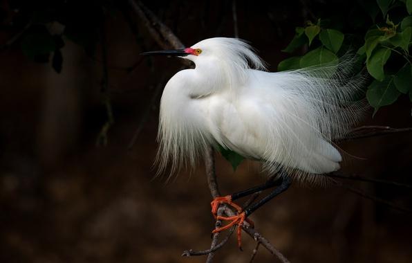 Picture tree, bird, white, Heron