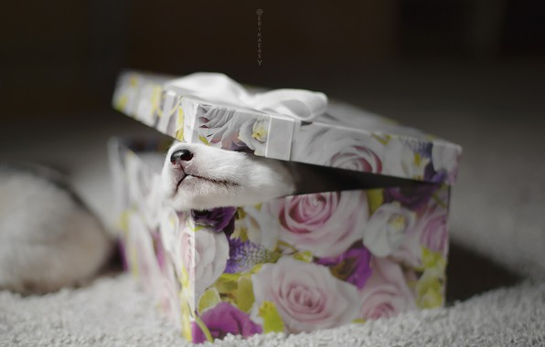 Picture box, gift, dog, puppy