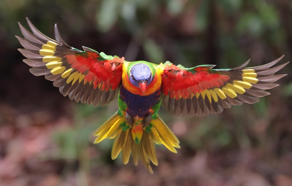 Picture animals, bird, wings, blur, parrot, flight, colors, bokeh, tail, multicolor lorikeet