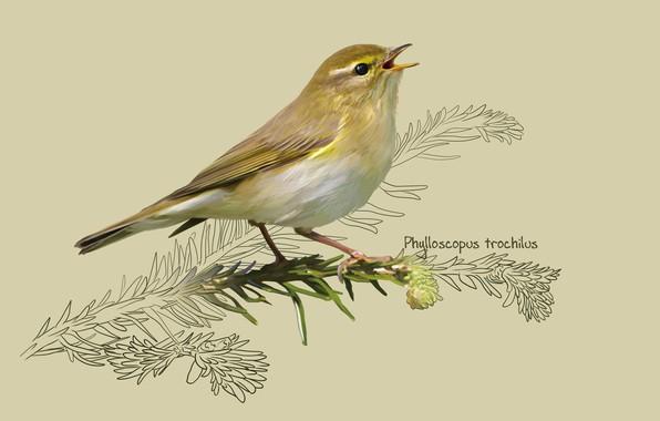 Picture art, bird, kate kondrukhova, The willow Warbler, The willow warbler