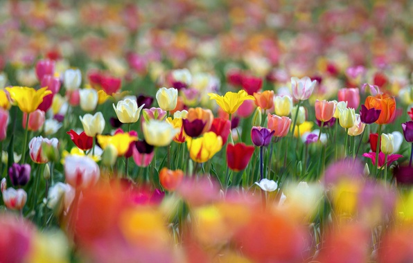 Picture flowers, paint, spring, tulips, bokeh