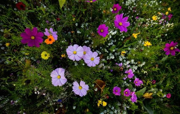 Picture grass, nature, petals, meadow, kosmeya