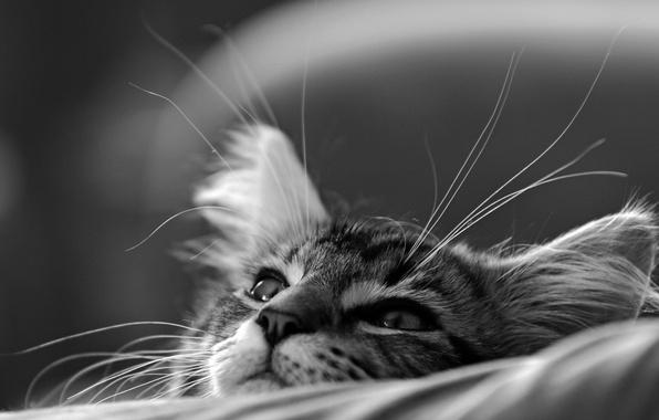 Picture cat, cat, muzzle, black and white, kitty, monochrome, dreamer