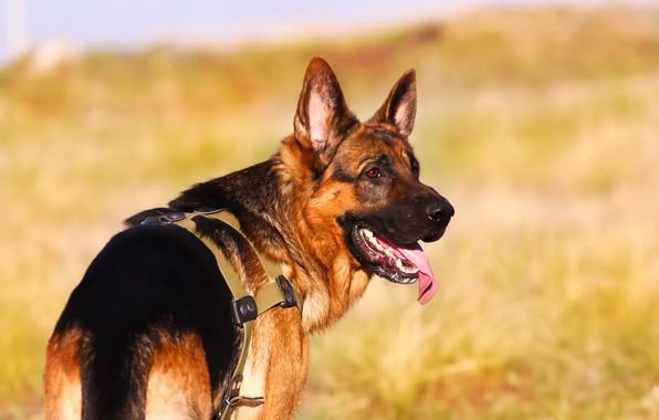 Picture language, background, each, dog, German shepherd
