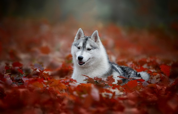 Picture autumn, portrait, dog, bokeh, Husky