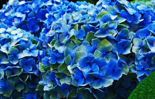 Picture flowers, petals, flowering, blue, inflorescence, hydrangea