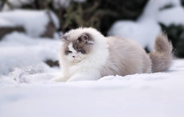 Wallpaper winter, cat, snow, fluffy, Ragdoll