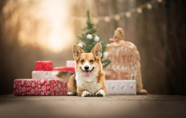 Photo wallpaper bokeh, doggie, gifts, Welsh Corgi, bag