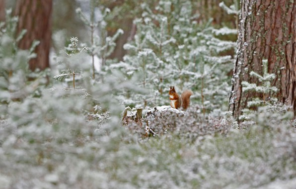 Picture winter, frost, forest, snow, Scotland, red squirrel