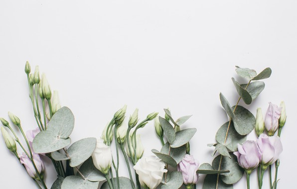 Picture background, Flowers, Eustoma
