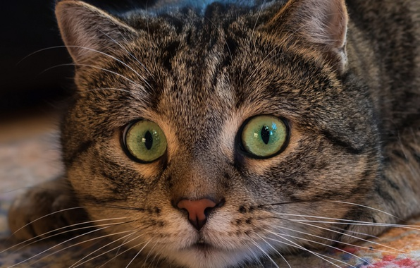 Picture cat, look, face, Kote, eyes, cat