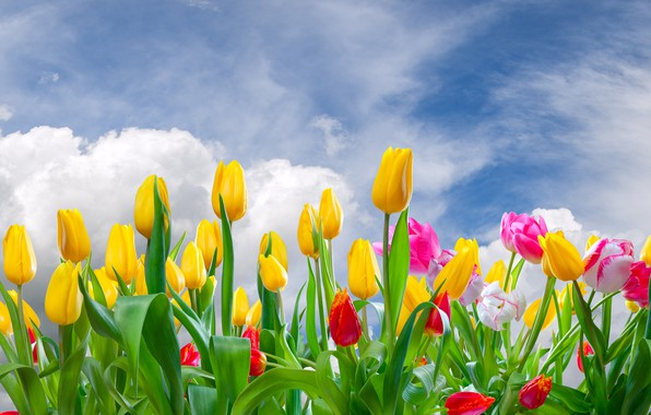 Picture clouds, flowers, tulips, buds, flowering