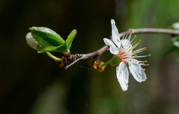 Picture Nature, Czech Republic, Flower cherry