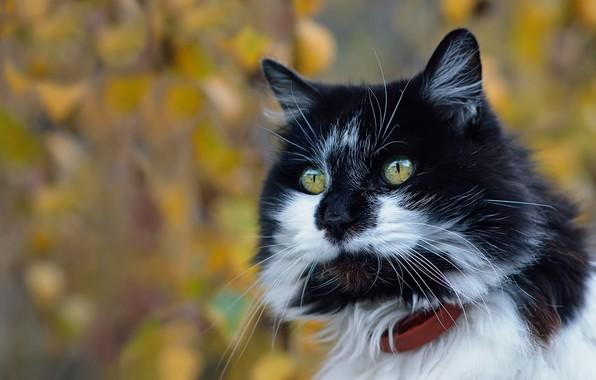 Picture look, background, portrait, muzzle, Kote, bokeh, cat