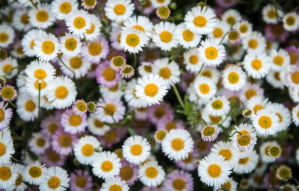 Picture carpet, petals, garden, Daisy