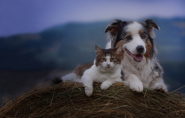 Picture cat, dog, hay, friends, Australian shepherd