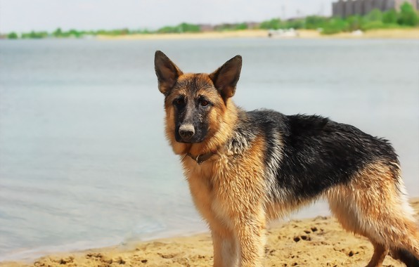 Picture lake, background, each, dog, shepherd