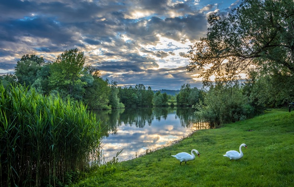 Picture greens, summer, the sky, grass, clouds, trees, river, the evening, pair, white, swans, the bushes, …
