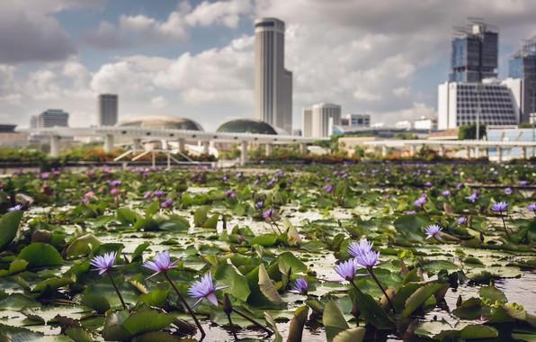 Picture City, Singapore, Bokeh, Waterlilies