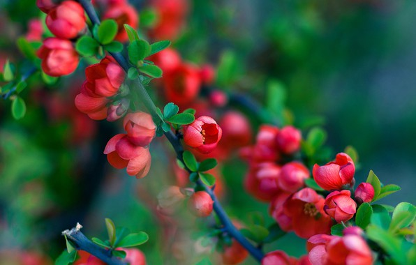 Picture blur, flowering in the spring, branch of a quince