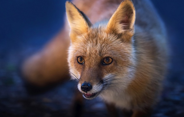Picture muzzle, Fox, red