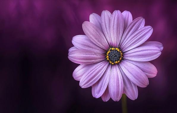 Picture macro, petals, Daisy