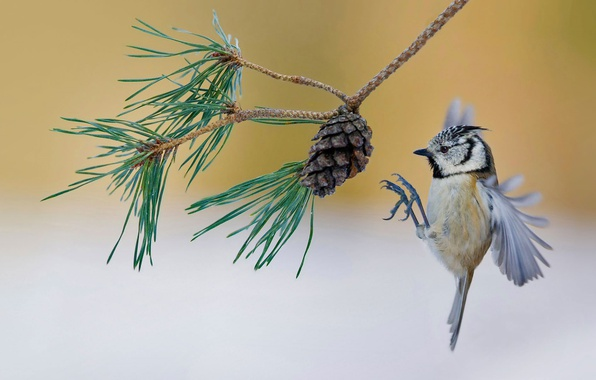 Picture bird, France, branch, bump, pine, crested tit